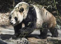 <p>Male panda Bili, named Ri Ri in Japan, is seen at Ueno Zoological Park in Tokyo April 1, 2011, on the first day of its public appearance together with female panda Xiannu, named Shin Shin in Japan. REUTERS/Issei Kato</p>