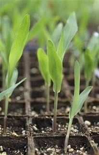Young maize seedlings are seen in the corn greenhouse at the Monsanto Research facility in Chesterfield, Missouri in this October 9, 2009 file photo. REUTERS/Peter Newcomb