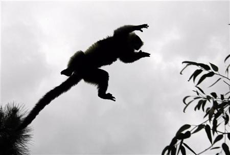 A Coquerel's Sifaka lemur leaps between trees inside the Lemurs Park, a private eco-tourism enterprise which hosts 9 of 49 known lemur species, 22 km (14 miles) from Antananarivo December 5, 2006. REUTERS/Radu Sighet
