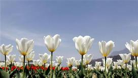 <p>Tulips are seen in full bloom inside Kashmir's tulip garden after its opening in Srinagar March 25, 2010. REUTERS/Fayaz Kabli</p>