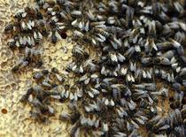 <p>Пчелы в Стоунлей, Англия, 21 ноября 2008 года. Несколько тысяч пчел, бывших частью дорогостоящего эксперимента по нейробиологии, были украдены с территории одного из британских университетов. REUTERS/Darren Staples</p>