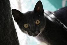 """<p>Foto de archivo de un gato """"azul cubana"""" en una casa de La Habana, mayo 25 2011. En un apartamento de La Habana, cuatro razas de gatos con tono gris plateado juguetean alrededor del suelo y encima de los muebles unos con otros, a veces saltando hasta sobre los visitantes. REUTERS/Desmond Boylan</p>"""