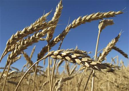 Ears of wheat are seen in a field in Agrostroy farm, some 450 km (280 miles) south of Barnaul city in the Altai region September 22, 2010. REUTERS/Andrei Kasprishin