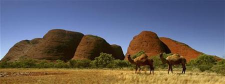 Two wild camels are seen in front of rock monoliths known as The Olgas in central Australia in this file photo. REUTERS/Tim Wimborne/Files