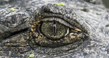 A close-up view shows an eye of an alligator at the Villa Lorena animal refuge centre in Cali March 23, 2011. Picture taken March 23, 2011. REUTERS/Jaime Saldarriaga