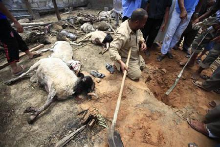 A Libyan man, standing next to dead sheep, tries to find fragments of a rocket fired from forces loyal to Muammar Gaddafi on the rebel-held city of Misrata, June 22, 2011. REUTERS/Zohra Bensemra