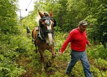 <p>Claude Desmarais and his Belgian draft horse Fred pull fiber optic cables between utility poles in East Burke, Vermont June 24, 2011. REUTERS/Brian Snyder</p>