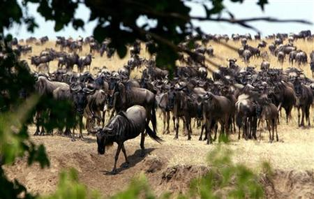 Hundreds of thousands of wildebeests migrating from Serengeti game park in Tanzania cross the Mara river into Kenya's Masai Mara game park, in this picture taken August 18, 2003. REUTERS/Antony Njuguna