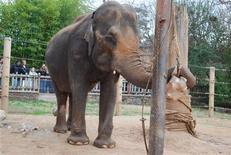 <p>Ellen the elephant in her pin at the Little Rock Zoo earlier this year, in an image courtesy of the Little Rock Zoo. REUTERS/Little Rock Zoo</p>
