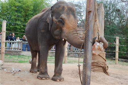 Ellen the elephant in her pin at the Little Rock Zoo earlier this year, in an image courtesy of the Little Rock Zoo. REUTERS/Little Rock Zoo