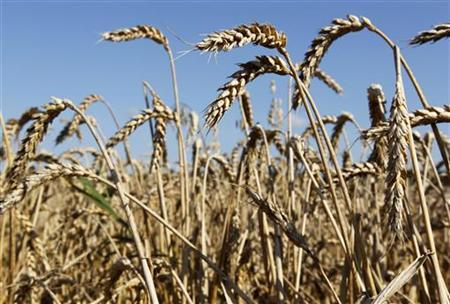 Ripened ears of wheat are seen in the field near the village of Znamenka, some 30 km (19 miles) northeast of Minsk, August 11, 2010. REUTERS/Vasily Fedosenko