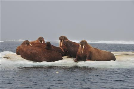 Walruses rest on an ice floe in the Chukchi sea in the Arctic, in this handout photo taken July 9, 2011. Fast-melting Arctic sea ice appears to be pushing walruses to haul themselves out onto land, and many are moving around the area where oil leases have been sold, the U.S. Geological Survey reports. Picture taken July 9. REUTERS/U.S. Geological Survey/Handout
