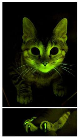 Green glowing cats are seen in this undated handout photo. Mayo Clinic researchers have developed a genome-based immunization strategy to fight feline AIDS and illuminate ways to combat human HIV/AIDS and other diseases. REUTERS/Mayo Clinic/Handout