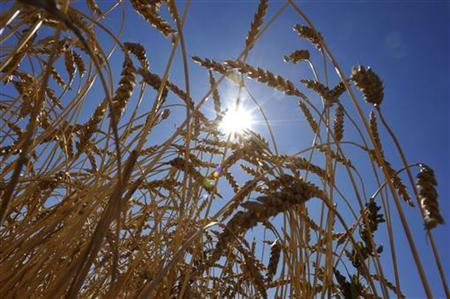 A wheat crop stands before harvest on the Canadian prairies near Taber, Alberta, September 7, 2011. REUTERS/Todd Korol