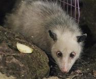<p>Famous cross-eyed opossum Heidi inspects its new enclosure at the newly built tropical hall of the Zoo in Leipzig, June 9, 2011. Reuters/Fabrizio Bensch</p>