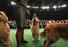 "<p>A Golden Retriever stands during the ""Best in Breed"" category at the 136th Westminster Kennel Club Dog Show in New York's Madison Square Garden, February 14, 2012. REUTERS/Shannon Stapleton</p>"