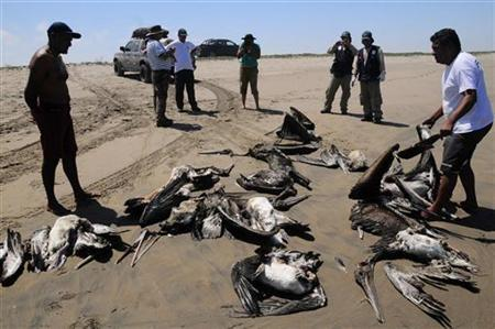 Dead pelicans are displayed by conservationists at Reventazon beach, close to the Illescas peninsula in Piura April 27, 2012. REUTERS/Heinze Plenge