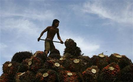 A worker unloads oil palm fruits to a local palm oil factory in the Serdang Bedagai district of Indonesia's North Sumatra province, November 30, 2011. REUTERS/Y.T Haryono