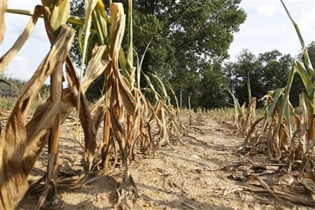 Corn plants struggle to survive on the drought-stricken farm field in Oakland City, Indiana, July 24, 2012. REUTERS/ John Sommers II