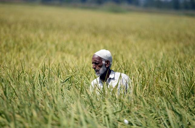 A Kashmiri man works in his paddy field in Srinagar in this September 3, 2012 file photograph. REUTERS/Danish Ismail/Files/Files