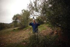 Élagage d'un olivier dans le sud de l'Espagne. Trois grands actionnaires de l'entreprise espagnole Deoleo  - le premier producteur mondial d'huile d'olive - ont convenu de vendre une participation conjointe de 29,99% au fonds de capital investissement CVC. /Photo d'archives/REUTERS/Jon Nazca