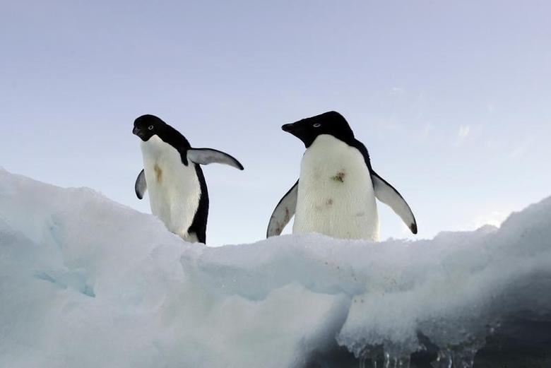 Two Adelie penguins stand on a block of melting ice atop a rocky shoreline at Cape Denison, Commonwealth Bay, East Antarctica, in this picture taken January 1, 2010. REUTERS/Pauline Askin/Files