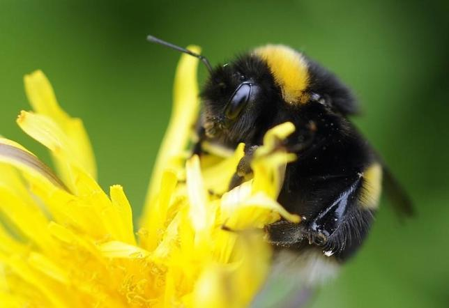 A bumble bee lands on a plant in Pitlochry in Scotland May 29, 2010. REUTERS/Russell Cheyne