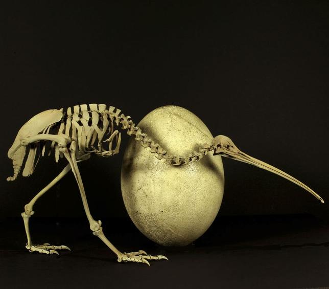 An adult brown kiwi (Apteryx australis) beside the egg of a huge elephant bird (Aepyornis maximus) is shown in this undated handout provided by Paul Scofield and Kyle Davis at the Caterbury Museum in Christchurch, New Zealand May 22, 2014.  REUTERS/Paul Scofield, Kyle Davis/Canterbury Museum/Handout via Reuters