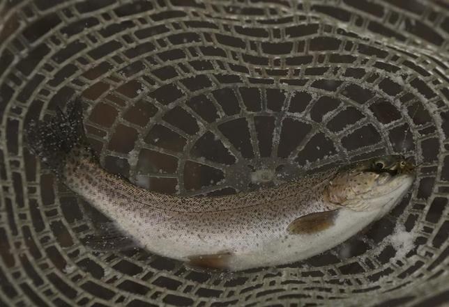 A catch and release rainbow trout is seen in a net during a winter blizzard at the Project Healing Waters third annual Fall FlyFest in Hopeville Canyon, West Virginia December 8, 2013.   REUTERS/Gary Cameron