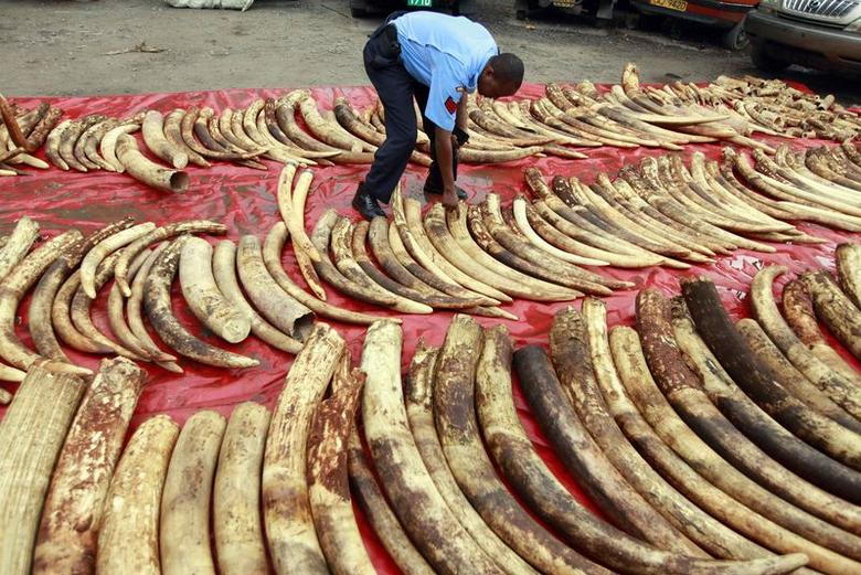 A policeman arranges seized elephant tusks to be inspected at Makupa police station in Mombasa June 5, 2014. REUTERS/Joseph Okanga