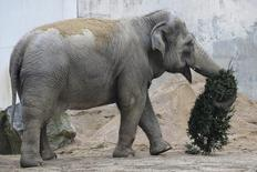 En la imagen de archivo, Emily, una elefanta asiática de 49 años en el zoológico de Buttonwood Park en New Bedford, Massachusetts, el 16 de enero de 2014.  Los cuidadores del zoológico de Houston han puesto a dieta y a un régimen de ejercicio a una elefanta asiática llamada Tess, a la que esperan ayudar a perder 228 kilos antes del nacimiento de su cría dentro de aproximadamente un año.  REUTERS/Brian Snyder
