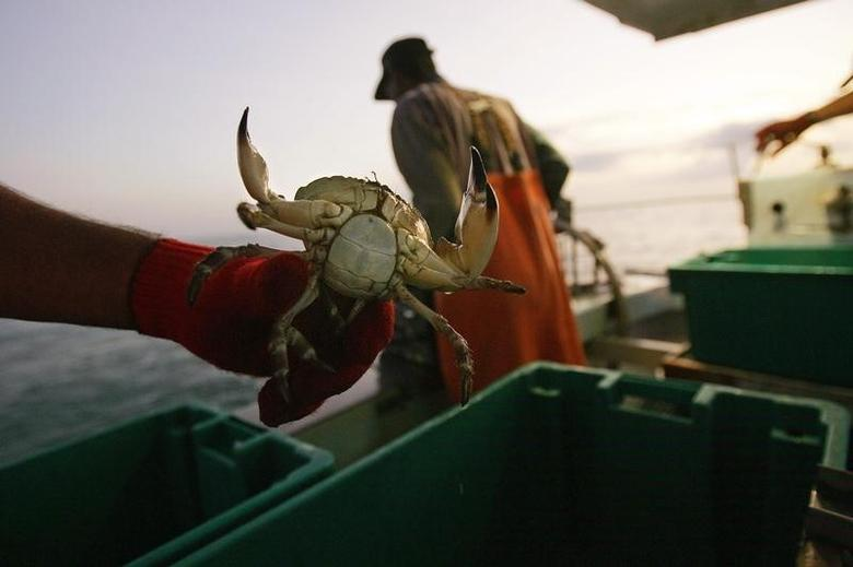 A crabber holds a stone crab about 50 miles (80 km) north of Marathon in the Florida Keys October 19, 2006.   REUTERS/Carlos Barria
