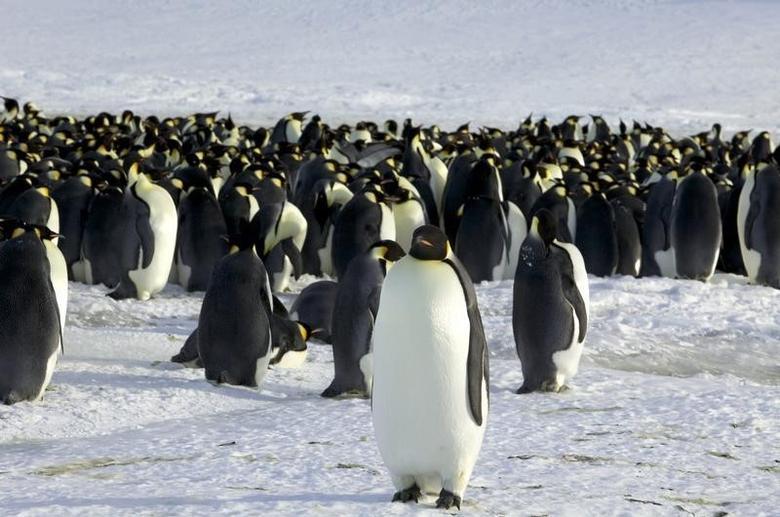 Emperor penguins are seen in Dumont d'Urville, Antarctica April 10, 2012.   REUTERS/Martin Passingham