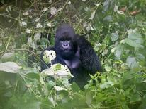 A mountain gorilla is photographed in Virguna National Park located in the Democratic Republic of Congo (DRC) April 4, 2014. REUTERS/Edith Honan