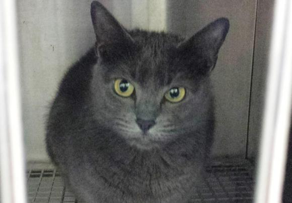 Kush, a four-year-old Russian Blue, is seen in a cage at the local police station after her owner claimed the cat attacked her in her home, in DeLand, Florida, in this undated handout picture released by the DeLand Police Department on July 9, 2014.    REUTERS/DeLand Police Department/Handout via Reuters