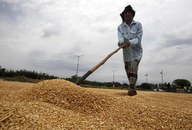 A labourer spreads wheat for drying at a wholesale grain market in Chandigarh April 13, 2014. REUTERS/Ajay Verma/Files