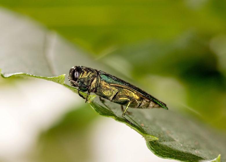 Emerald ash borer, Agrilus planipennis. REUTERS/United States Department of Agriculture/Stephen Ausmus