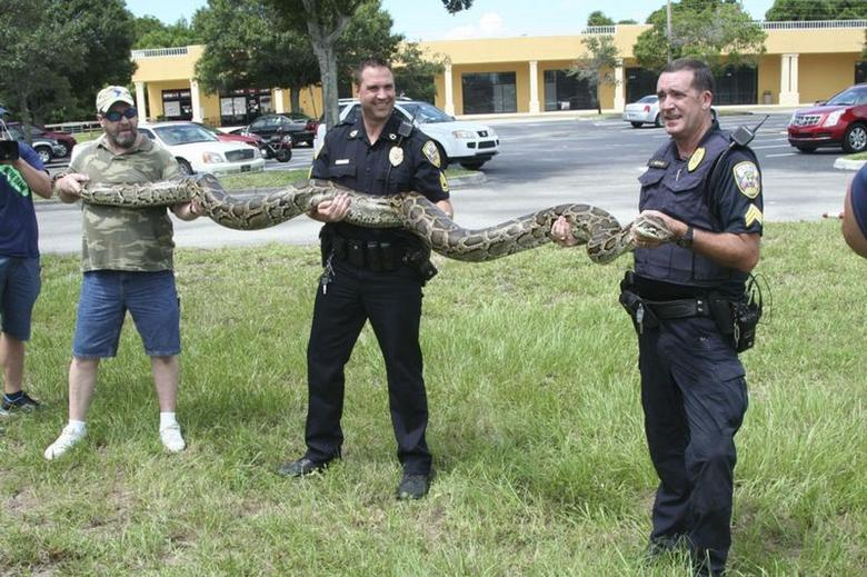 Port St. Lucie police officers display a captured 12-foot Burmese Python in this August 8, 2014 handout photo.  REUTERS/Port St. Lucie Police Department/Handout via Reuters
