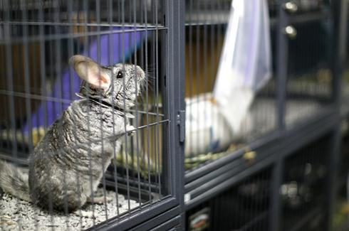 Chinchilla rescue
