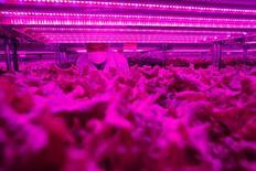 Las firmas tecnológicas japonesas están aplicando su experiencia en el ahorro de energía y en la tecnología en la nube para ayudar a los agricultores a lidiar con los cambios en el clima, las importaciones más baratas y la disminución de la mano de obra. En la imagen un directivo de una filial de Panasonic en el primer invernadero de la tecnológica japonesa en Singapur el 31 de julio de  2014.REUTERS/Edgar Su