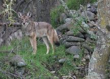 A coyote is shown near vegetation in this 2008 U.S. Fish and Wildlife handout photo released to Reuters September 24, 2014. REUTERS/US Fish and Wildlife Service/Handout via Reuters