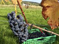Grapes hang on a vine during harvest at the Lerkekasa vineyard in Norway, one of the world's northernmost wine producers, September 25, 2014. REUTERS/Alister Doyle