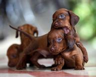Imagen de archivo de unos cachorros de Dachshund en Sagua La Grande, jul 19 2009. Un grupo defensor de los derechos animales pidió al Gobierno de Suiza que prohíba una práctica tradicional, aunque rara, de comer gato en la cena y convertir a los perros en salchichas. REUTERS/Desmond Boylan