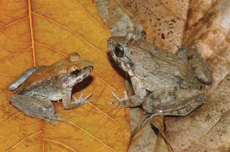 The newly described frog L. Larvaepartus, male (L) and female, are pictured from the island of Sulawesi in Indonesia, in this undated handout photo provided by Jim McGuire. REUTERS/Jim McGuire/Handout via Reuters