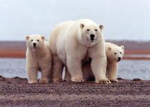 Ursos polares no Alasca, em foto de arquivo. 06/03/20017 REUTERS/Susanne Miller/Divulgação/USFWS