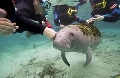 Snorkelers interact with a Florida Manatee inside of the Three Sisters Springs in Crystal River, Florida January 15, 2015.  REUTERS/Scott Audette