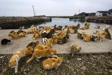 Les chats sauvages sont rois dans l'île japonaise d'Aoshima, dans le sud de l'archipel, prenant leurs aises dans les maisons abandonnées et se pavanant dans ce village de pêcheurs où les félins sont six fois plus nombreux que les humains. /Photo prise le 25 février 2015/REUTERS/Thomas Peter