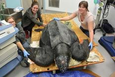 Workers at the South Carolina Aquarium in Charleston treat a 500-pound leatherback turtle in this undated handout photo obtained by Reuters March 9, 2015.  REUTERS/South Carolina Sea Aquarium/Handout via Reuters