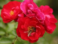 Unas abejas recolectando néctar en un rosal en Viena, ago 27 2014. Casi una de cada 10 especies de abejas de Europa corre peligro de extinción debido a amenazas como la extensión de las granjas y los pesticidas, entre otros factores, mostró el jueves una primera evaluación de la población del insecto en el continente. REUTERS/Heinz-Peter Bader