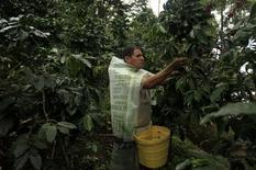 Un agricultor cosecha granos de café en una granja en la ciudad de Villa Rica. Imagen de archivo, 8 junio, 2012. El valor de las exportaciones de café de Perú cayó un 50 por ciento interanual en el primer trimestre por los bajos precios internacionales del grano y una caída del volumen embarcado, dijo el lunes la asociación más importante del sector en el país. REUTERS/ Pilar Olivares
